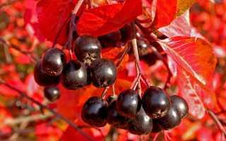 Как получить хороший самогон на браге из черноплодной рябины